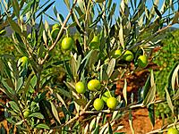 branches with green olives