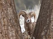 Yellowstone Park Wyoming Winter Snow Big Horn Sheep