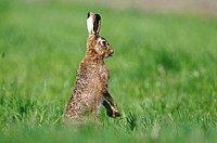Hare Lepus europaeus, standing and stretching out tongue, Bavaria