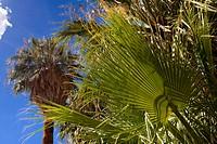 California fan palm, Petticoat Palm Washingtonia filifera, single leaf in front of a tree, USA, California, Mojave, Joshua Tree National Park