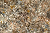 Philodromus Philodromus margaritatus, sitting on a rock well camouflaged, Germany