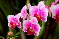 Orchid of the Phalaenopsis genus