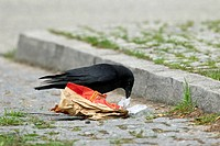 Carrion crow Corvus corone looking for food in garbage on street, Germany