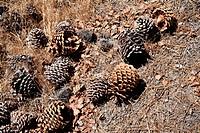 Bunch of pinecones