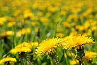 Blossoming dandelions