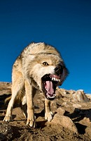A wild wolf charging his prey in the mountains of the Altai region of western Mongolia.