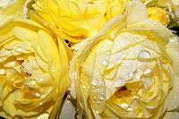 Wet Yellow Roses