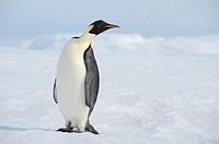 Emperor penguin Aptenodytes forsteri  Snow Hill Island, Weddell Sea, Antarctica