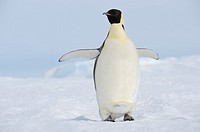 Emperor penguins Aptenodytes forsteri spreading wings  Snow Hill Island, Weddell Sea, Antarctica