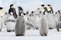 Emperor penguin Aptenodytes forsteri, chick spreading wings in rookery  Snow Hill Island, Weddell Sea, Antarctica