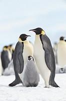Emperor penguin Aptenodytes forsteri, chick and adults  Location: Snow Hill Island, Weddell Sea, Antarctica