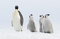 Emperor penguin Aptenodytes forsteri, chicks and adult  Location: Snow Hill Island, Weddell Sea, Antarctica