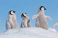 Emperor Penguin Aptenodytes forsteri chicks one spreading wings on hill of snow  Snow Hill Island, Antarctic Peninsula, Antarctica