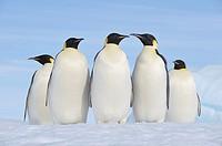 Emperor Penguin Aptenodytes forsteri group of adults  Snow Hill Island, Antarctic Peninsula, Antarctica
