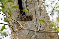 A Milne_Edwards´s Sportive Lemur Lepilemur edwardsi in a tree trunk in Ankarafantsika National Park in northwest Madagascar.