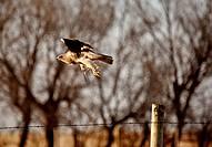 Swainson´s Hawk taking flight from fence post