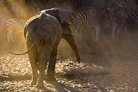 An adult african elephant (Loxodonta africana) chasing away a herd of Burchell´s zebras (Equus burchelli), Botswana, Africa