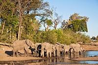 A herd of african elephants (Loxodonta africana) drinking at a waterhole in Botswana, Africa