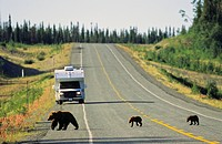 Grizzly family crossing the Alaska Highway, northern British Columbia, Canada.