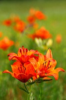 Pyrenean Lily / Lilium bulbiferum