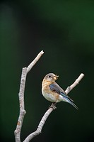Eastern Bluebird Perched with Food in Beak