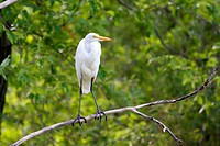 Great White Egret perched in a tree