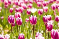 gardening tulip
