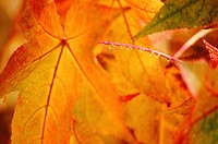 Dewdrops on maple leaves