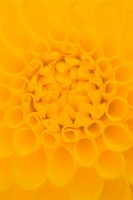 Yellow Dahlia Detail