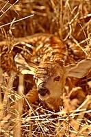 Newly born fawn hiding in a Saskatchewan field