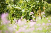 Grapevine, Cognac vineyard, Charente, France