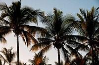 Mexico, Baja California Sur, San Jose del Cabo, Palm trees