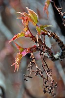 Virginia creeper blossoming in spring