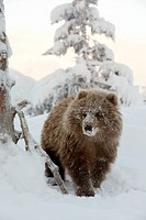 CAPTIVE: Female Kodiak Brown bear cub walks in the snow with her face covered in snow at the Alaska Wildlife Conservation Center, Southcentral Alaska,...