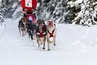 Luke Sampson´s dogs running in the 2011 ExxonMobil Open, Southcentral Alaska, Winter