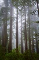 USA, California, Redwood National Park, Trees in fog