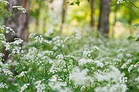 White blooming Cow Parsley
