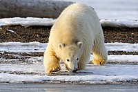 A curious sub adult polar bear approaches the shoreline along a barrier island outside Kaktovik on the northern edge of ANWR, Arctic Alaska, Fall