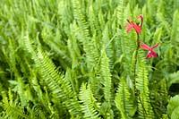 Ferns in Bvumba National Botanical Gardens, Bvumba, Eastern Highlands, Zimbabwe