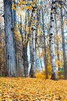 Tall white aspen trees stand tall with yellowed leaves scattered on the ground