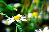 beautiful flower, white camomile, macro