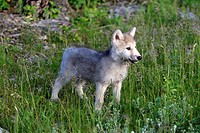 Gray Wolf,Canis lupus,Montana,USA,North America,young eight weeks old