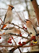 Three cedar waxwings eating an crab apples