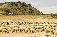 Traditional day of trashumance in Bardenas Reales Nature Park  Navarre, Spain
