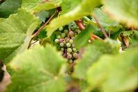 Grape details growing in vineyard field