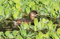 White_tufted Grebe Rollandia rolland chilensis juvenile, swimming amongst floating aquatic vegetation, Vicente Lopez, Buenos Aires Province, Argentina...