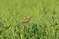 Skylark Alauda arvensis adult, singing, perched in pea crop, Warwickshire, England, june