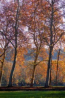 Plane trees. Seuil de Naurouze, Canal du Midi. Midi Pyrénées.
