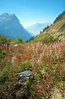 Fireweed growing near ´The Loop´ on the Going-to-the-Sun Road, Glacier National Park, Montana, United States  Focus on Foreground
