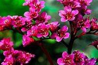 Bergenia Cordifolia Flowers